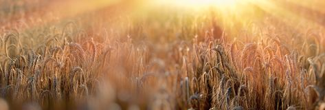 Sunset in wheat field, late afternoon in wheat field Royalty Free Stock Photos