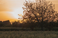 Sunset on a wheat field in Salento - Italy. Sunset on a wheat field in Salento Italy Royalty Free Stock Photo
