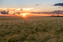 Sunset in wheat field. Summer landscape Royalty Free Stock Images