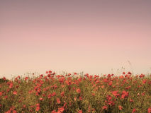 Sunset and wild flowers Stock Photos