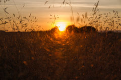 Sunset Between Wild Herbs Royalty Free Stock Photography