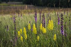 Sunset Wildflowers. Warm sunset light on showy goldenrod and rough blazing star at Shoe Factory Road Prairie Nature Preserve in Cook County, Illinois Royalty Free Stock Photo