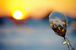 The sunset of winter. The beautiful sunset of a winter day and a frozen plant look like a beautiful crystal under the sun Stock Image