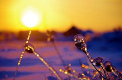 The sunset of winter. The beautiful sunset of a winter day and a frozen plants look like the beautiful crystals under the sun Royalty Free Stock Photography