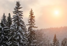 Sunset in the winter mountains. Sunset in the winter fir forest in the mountains Stock Image