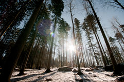 Sunset in a winter forest. Last rays of the sun in winter forest Royalty Free Stock Photo