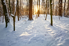 Sunset in a winter forest. Winter landscape Stock Image