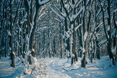 Sunset winter forest Stock Photography