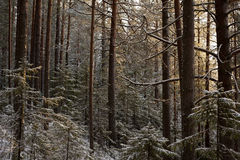 Sunset in winter forest Royalty Free Stock Image