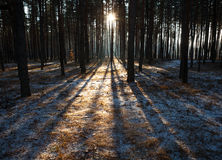 Sunset in  winter forest. Sunset in a winter forest Royalty Free Stock Photo