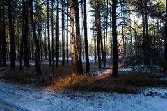 Sunset in  winter forest. Sunset in a winter forest Royalty Free Stock Images