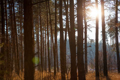 Sunset in  winter forest. Sunset in a winter forest Stock Photo