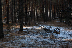Sunset in  winter forest. Sunset in a winter forest Stock Photography