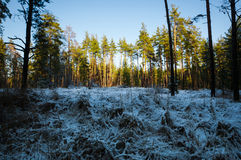 Sunset in winter forest. Sunset in a winter forest Stock Photos