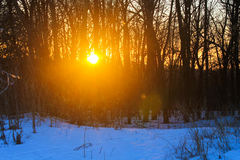 Sunset in winter forest. Sunset in a winter forest Royalty Free Stock Image
