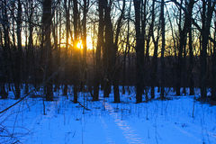 Sunset in winter forest. Sunset in the winter forest Stock Image