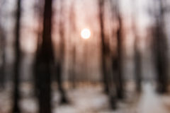Sunset in winter forest. As blurred background Royalty Free Stock Photo