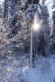 Sunset in a winter forest. Stock Image