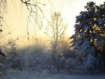 Sunset in winter forest. Fabulous sunset in the winter forest Royalty Free Stock Photography