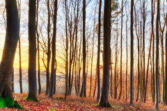 Sunset Winter Forest. Winter Forrest. Red leaves on the ground, barren trees. Sunset shines through the woods Stock Images