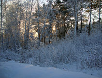 Sunset in winter forest Royalty Free Stock Images