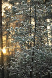 Sunset in the winter forest Royalty Free Stock Photography
