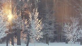 Sunset in winter forest. Sun rays shine through winter trees. Winter sun set. Sunset in winter forest. Sun rays shine through winter trees. Frosty winter sun set stock video footage