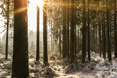 Sunset in the Winter Forest Stock Photo