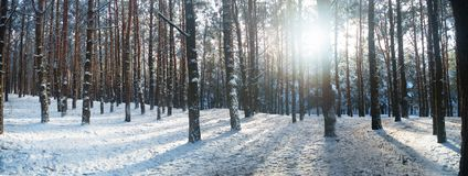 Sunset in winter forest. Sunset in the winter forest. Trees in the snow Stock Photos