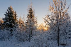 Sunset in winter forest. With white fresh snow and trees Stock Photos
