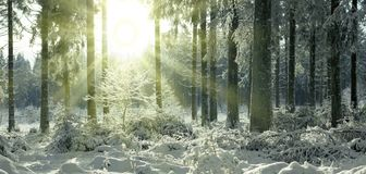 Sunset in winter forest. Winter landscape with snow covered fir trees . royalty free stock photography
