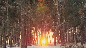 Sunset in the winter frosty Christmas forest. Sunset in the wood between the trees strains in winter period stock video