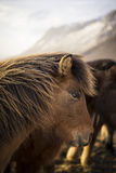 Sunset in Winter with Icelandic Horses Stock Image