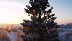 Sunset. Winter landscape. Camera around pine tree. Beautiful snow landscape. winter trees panorama. Sunset. Aerial view. Fly around the trees covered with snow stock video footage