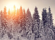 Sunset in the winter mountains. Sunset in the winter fir forest in the mountains Royalty Free Stock Image