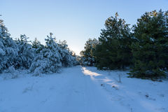 Sunset in the winter pine wood Royalty Free Stock Images
