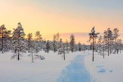 Sunset in winter snowy forest, big pine trees covered snow Royalty Free Stock Image