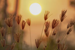 Free Sunset With Flower In Grassland Stock Photo - 41474020