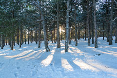 Sunset in the wood between pine trees strains in winter period Stock Image
