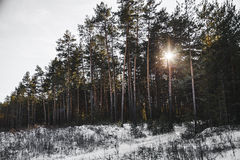 Sunset in the wood between the trees strains in winter. Royalty Free Stock Photo