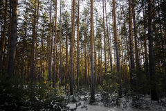 Sunset in the wood between the trees strains in winter. Stock Images