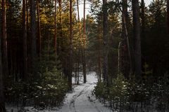 Sunset in the wood between the trees strains in winter. Royalty Free Stock Photography