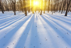 Sunset in the wood between trees strains, winter Stock Images