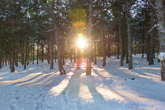 Sunset in the wood between the trees in winter Stock Photography