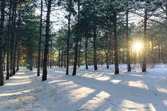 Sunset in the wood between the trees in winter Stock Image