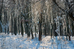 Sunset in the wood in winter period Royalty Free Stock Photography