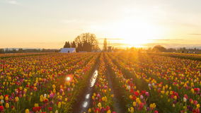 Sunset at Wooden Shoe Tulip Farm Spring Time Lapse. Golden Sunset at Wooden Shoe Tulip Farm Early Spring Season in Woodburn Oregon Time Lapse 1920x1080 Zooming stock video