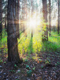 Sunset in the woods Stock Images
