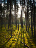 Sunset in the woods. Against the background of moss Royalty Free Stock Image