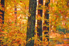 Sunset in the woods. Autumn forrest landscape in Poland, Europe Stock Photos